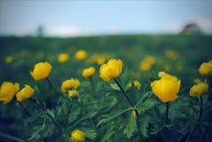 Blühende gelbe Blumen des Trollius auf einem grünen Hintergrund lizenzfreie stockfotografie