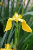 Blühende gelbe Iris Stockbilder