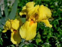 Blühende gelbe Iris Lizenzfreie Stockbilder