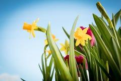 Blühende gelbe Iris und rote Tulpen vor dem hintergrund des Frühlingshimmels Lizenzfreie Stockbilder