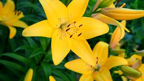 Blühende gelbe Lilie stock footage