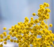 Blühende gelbe Mimosenniederlassung Lizenzfreie Stockfotos