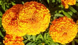 Blühende gelbe Ringelblumen Lizenzfreie Stockbilder