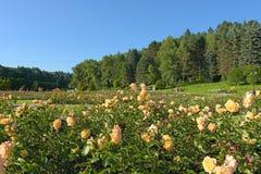 Blühende gelbe Rosen in den Blumenbeeten im Park Stockfoto