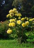 Blühende gelbe Rosen im Garten Stockbilder