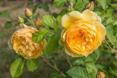 Blühende Gelbrose im Garten an einem sonnigen Tag David Austin Rose Golden Celebration Lizenzfreie Stockbilder