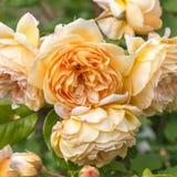 Blühende Gelbrose im Garten an einem sonnigen Tag David Austin Rose Golden Celebration Lizenzfreie Stockfotografie