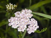 Blühende gemeine Schafgarbe, Achillea-millefolium, Blütentraubeblütentraube mit dunklem bokeh Hintergrundmakro, selektiver Fokus Lizenzfreie Stockfotografie