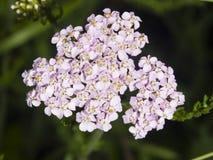 Blühende gemeine Schafgarbe, Achillea-millefolium, Blütentraubeblütentraube mit dunklem bokeh Hintergrundmakro, selektiver Fokus Stockfotografie