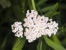 Blühende gemeine Schafgarbe, Achillea-millefolium, Blütentraubeblütentraube mit dunklem bokeh Hintergrundmakro, selektiver Fokus Lizenzfreies Stockbild