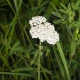 Blühende gemeine Schafgarbe, Achillea-millefolium, Makro, selektiver Fokus, flacher DOF Lizenzfreie Stockfotografie