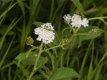 Blühende gemeine Schafgarbe, Achillea-millefolium, mit bokeh Hintergrundmakro, selektiver Fokus, flacher DOF Stockfotografie