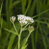 Blühende gemeine Schafgarbe, Achillea-millefolium, mit bokeh Hintergrundmakro, selektiver Fokus, flacher DOF Lizenzfreies Stockbild