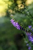 Blühende Glockenblumen Stockfoto