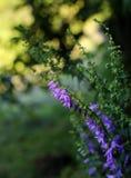 Blühende Glockenblumen lizenzfreie stockbilder
