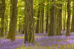 Blühende Glockenblumen in Nordirland Stockfotografie