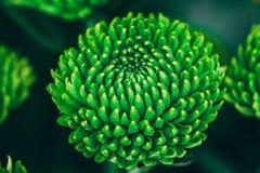 Blühende grüne Makroblume stockfotos
