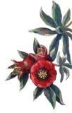 Blühende Granatapfelniederlassung Lizenzfreies Stockfoto