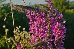 Blühende Gruppen der kleinen rosa Blume, ganze blühende Pflanze lizenzfreie stockfotografie