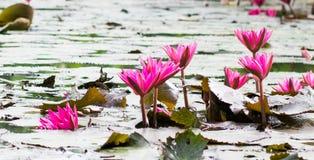 Blühende Gruppen des rosa Lotos stockfotos