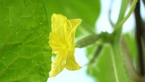 blühende Gurke Gartengeschäft Gelbe Blumen von Gurken blühen auf dem Busch blühende Gurken angebaut in offenem stock footage