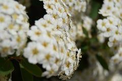 Blühende Hecke stockbild