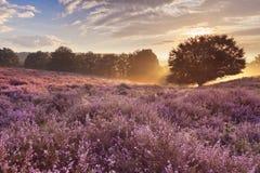 Blühende Heide bei Sonnenaufgang, Posbank, die Niederlande Stockfotos
