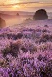Blühende Heide bei Sonnenaufgang, Posbank, die Niederlande Stockfoto