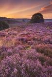 Blühende Heide an der Dämmerung beim Posbank, die Niederlande Stockbild