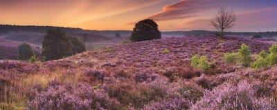 Blühende Heide an der Dämmerung in den Niederlanden Stockbild