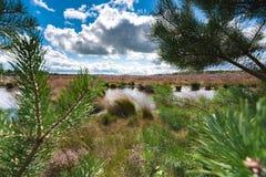 Blühende Heide entlang einem See in den Niederlanden an einem sonnigen Tag Stockfoto
