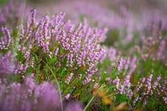 Blühende Heide im Wald, DOF Stockbild