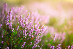 Blühende Heide im Wald, DOF Stockfotos