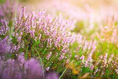 Blühende Heide im Wald, DOF Stockfotografie