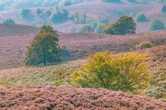 Blühende Heide und Bäume auf den Hügeln des Posbank Lizenzfreie Stockfotografie