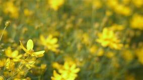Blühende Helianthusminisonnenblume, Abschluss oben stock video