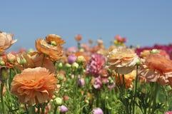 Blühende helle farbige Blumen auf einem Gebiet Stockbild
