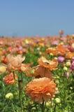 Blühende helle farbige Blumen auf einem Gebiet Stockfotografie