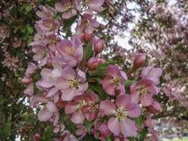 Blühende Holzapfelbäume lizenzfreies stockfoto