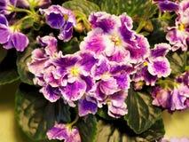 Blühende Houseplants, Blumenveilchen lizenzfreies stockfoto