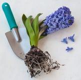 Blühende Hyazinthe mit Wurzeln Lizenzfreie Stockbilder