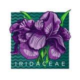 Blühende Iris Lizenzfreie Abbildung
