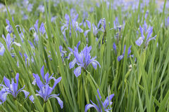 Blühende Iris Lizenzfreies Stockbild