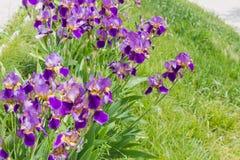 Blühende Iris auf Hintergrund des Grases am selektiven Fokus Stockbild