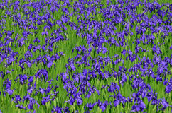 Blühende Iris blüht im Sumpf, Kyoto Japan Stockfoto