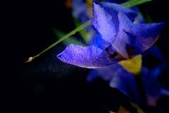 blühende Iris, blaue Iris, Stockbild