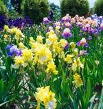 Blühende Iris im botanischen Garten Nikitsky krim Stockfotografie