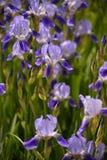 Blühende Iris im Frühjahr auf einem Bett Stockfoto