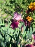 Blühende Iris im Garten Lizenzfreie Stockfotos
