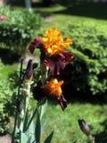 Blühende Iris im Garten Lizenzfreie Stockbilder